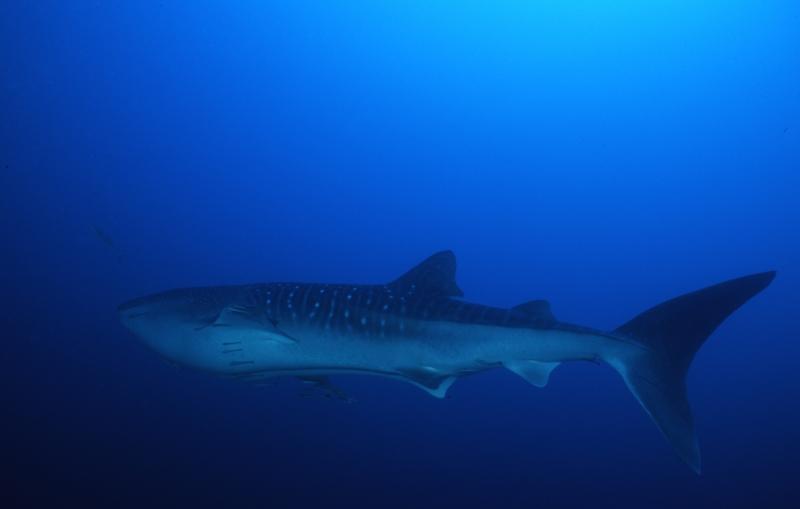 Whale shark in motion-Richelieu Rock