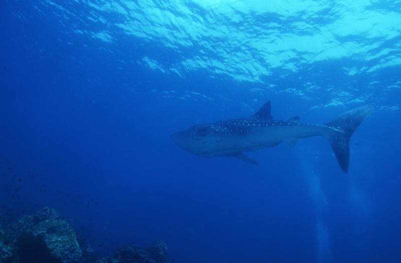 Whale shark near surface-Richelieu Rock