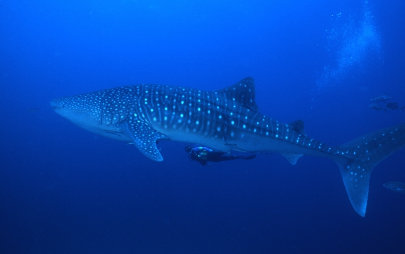 Whale shark with diver underneath-Richelieu Rock, Thailand