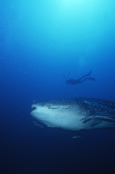 Whale shark with photographer above-Richelieu Rock