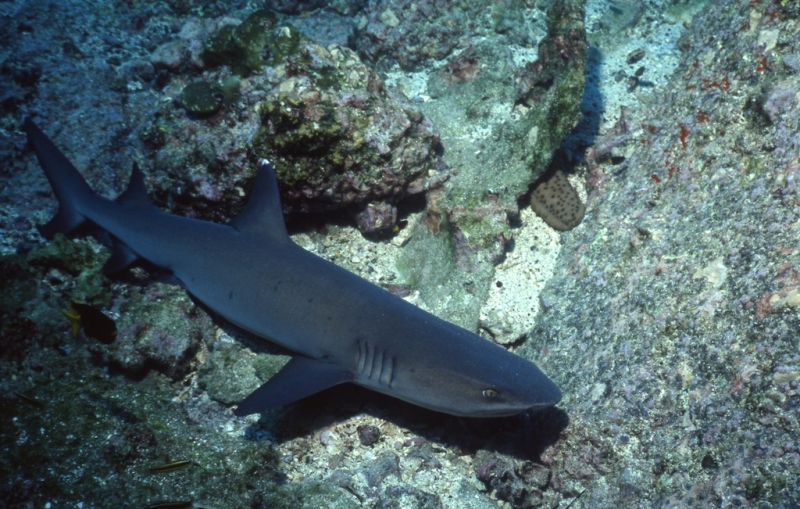 Whitetip reef shark-Cocos Island