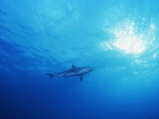 Blacktip shark from below-Exumas