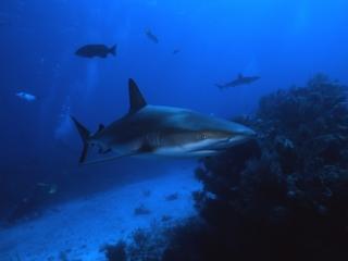 Blacktip sharks-Exumas