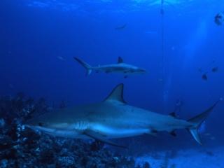 Blacktip sharks after feeding-Exumas