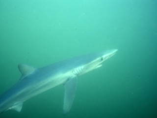 Blue shark-Catalina Island