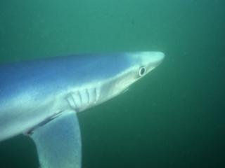 Blue shark-Catalina Island, California