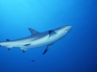 Caribbean reef shark-New Providence Island