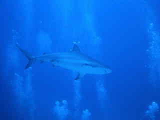 Caribbean reef shark and bubbles-Nassau