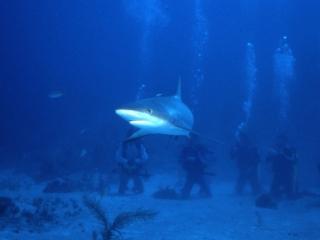 Caribbean reef shark & divers-New Providence Island