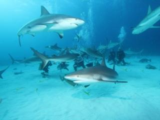 Caribbean reef shark feed 2 (dig)-New Providence Island