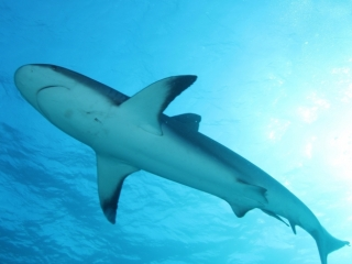 Caribbean reef shark from below 1 (dig)-New Providence Island