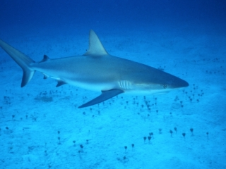 Caribbean reef shark over sand-Nassau