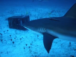 Caribbean reef shark with remora-New Providence, Bahamas
