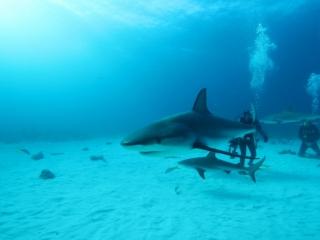 Caribbean reef sharks (dig)-New Providence Island