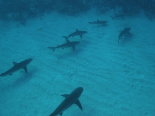 Caribbean reef sharks from above (dig)-New Providence Island