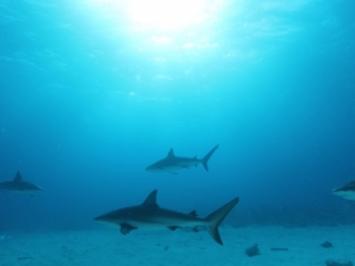 Caribbean reef sharks & sun 1 (dig)-New Providence Island