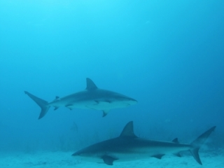 Caribbean reef sharks & sun 2 (dig)-New Providence Island