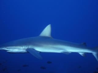 Galapagos shark-Wolf Island, Galapagos