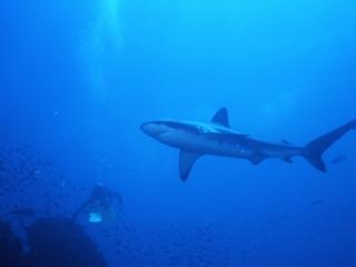 Galapagos shark & diver-Wolf Island