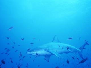 Galapagos shark & fish-Galapagos