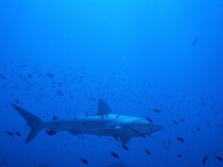 Galapagos shark with small fish-Wolf Island, Galapagos