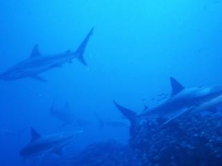 Galapagos sharks-Wolf Island, Galapapos