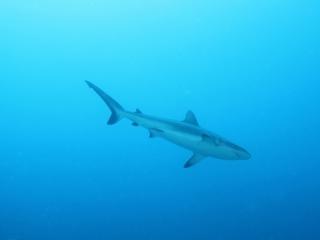 Gray reef shark departing (dig)-Fiji