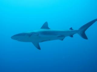 Gray reef shark (dig)-Fiji