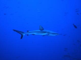 Gray reef shark & fish-Blue Corner, Palau