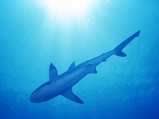 Gray reef shark & sun-Palau