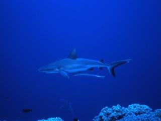 Gray reef shark with remora-Blue Corner, Palau