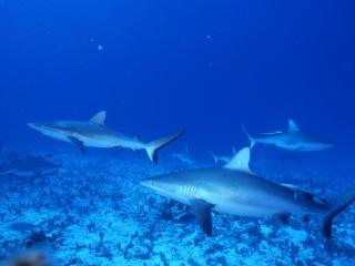 Gray reef sharks-Australia
