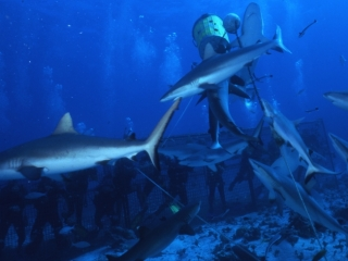 Gray reef sharks after bait ball-Coral Sea