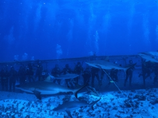 Gray reef sharks & divers in cage-Australia