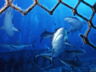 Gray reef sharks from inside cage-Coral Sea