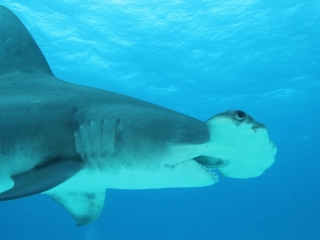 Great hammerhead from below 1 (dig)-Bimini