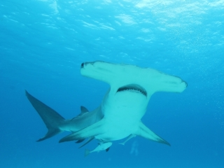 Great hammerhead from below 2 (dig)-Bimini