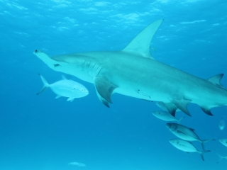 Great hammerhead from below 3 (dig)-Bimini
