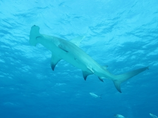 Great hammerhead from below 4 (dig)-Bimini
