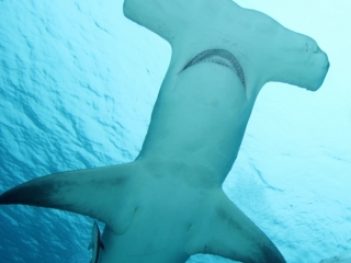 Great hammerhead from below 5 (dig)-Bimini