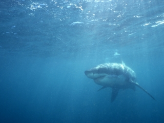 Great white shark approaching-Gansbaai