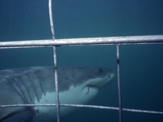 Great white shark by cage-Gansbaai