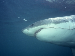 Great white shark with entrail-South Africa