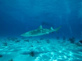 Lemon shark action 1 (dig)-Tiger Beach, Grand Bahama Island