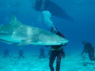 Lemon shark action 3 (dig)-Tiger Beach, Grand Bahama Island
