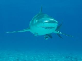 Lemon shark head-on 4 (dig)-Tiger Beach, Grand Bahama Island