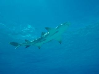 Lemon shark near surface 1 (dig)-Tiger Beach, Grand Bahama Island