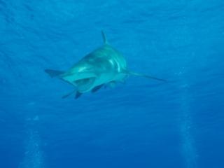 Lemon shark near surface 3 (dig)-Tiger Beach, Grand Bahama Island