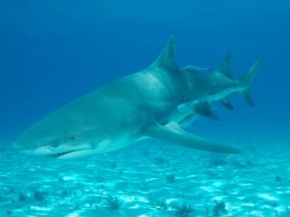 Lemon shark over sand 1 (dig)-Tiger Beach, Grand Bahama Island