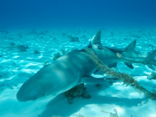 Lemon shark over sand 4 (dig)-Tiger Beach, Grand Bahama Island